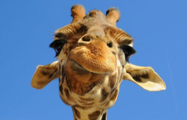 tumblr_static_giraffe-head-283783