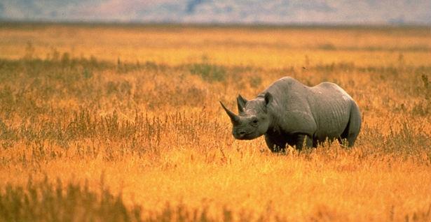 crni nosorog