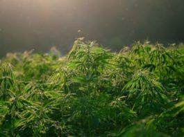 nadjena-ilegalna-laboratorija-marihuane,-osumnjiceni-uhapsen