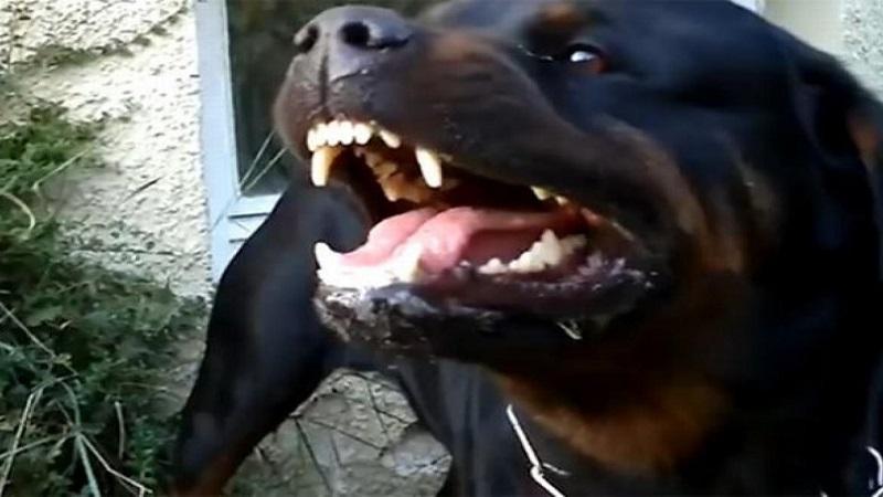 sjenica:-od-ujeda-psa-devojcica-dobila-teske-povrede-na-glavi-i-telu!-prijava-protiv-vlasnika
